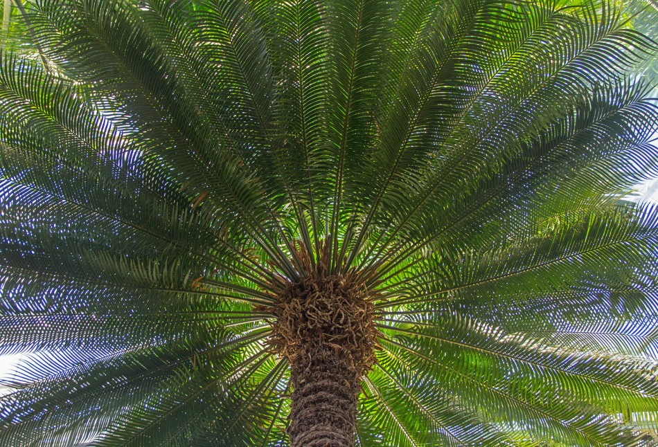 False Sago Palm small