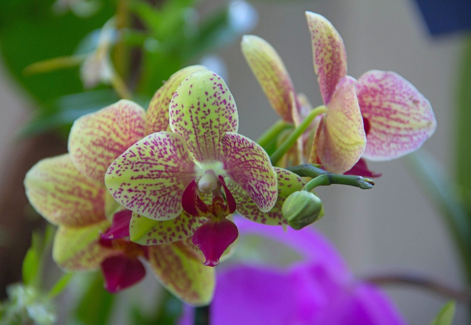 Orchid Colors small